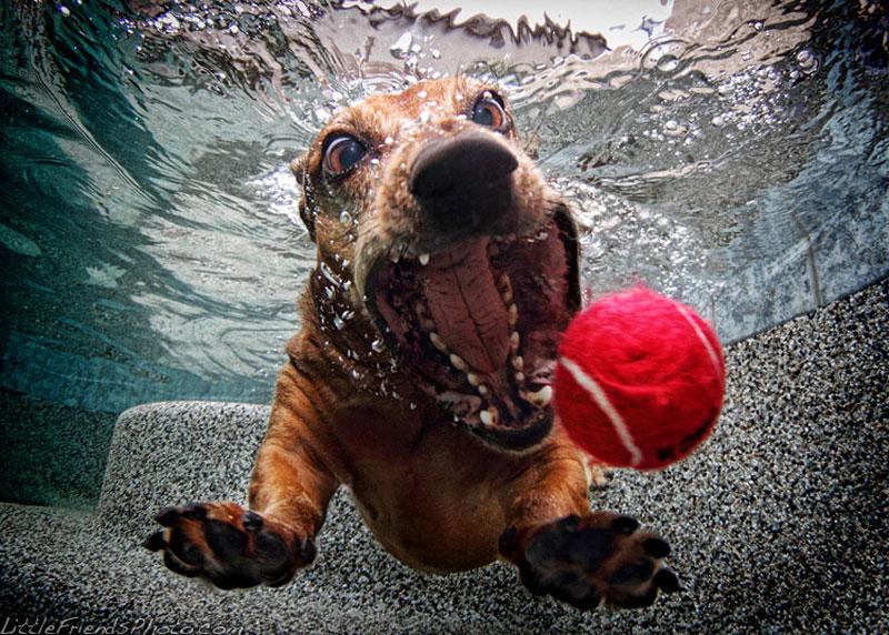 photo-of-dog-underwater-foster_dachshund_6years
