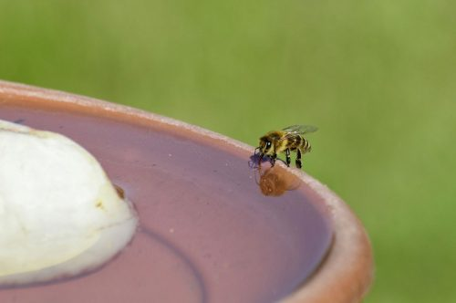 abeille-eau-piscine
